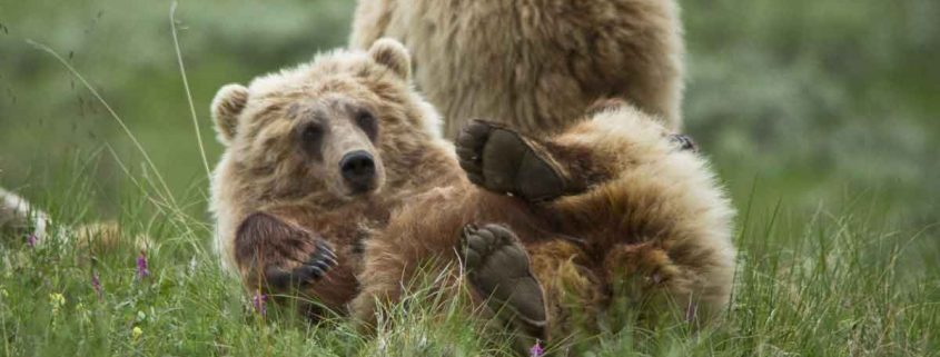 Grizzly Play Time