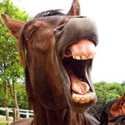 Close up of a horse showing teeth and appears to be laughing