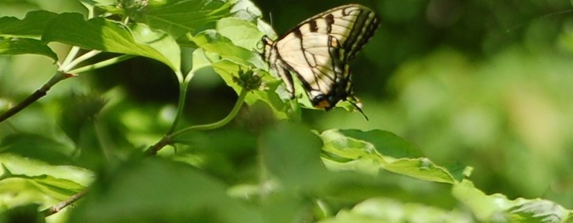 Bright green leafs with monach butterfly landing on them
