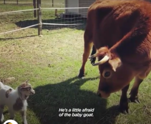 Finn the Cow who is happy and thinks he's a dog