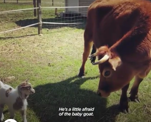 Finn the Cow who thinks he's a dog