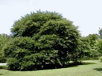 A bushy tree
