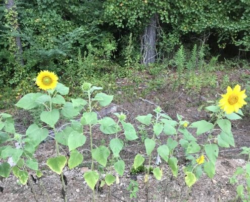 A bunch of sunflowers. What do they communicate to you?