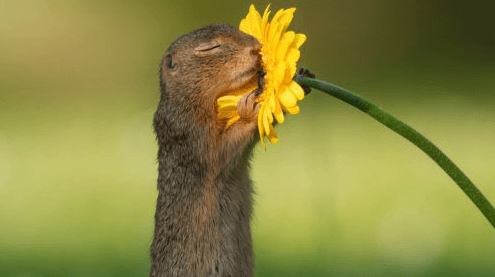 Squirrel smelling a daisy